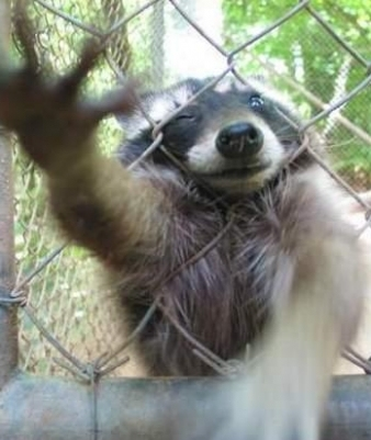image of Raccoon Climbing Fence