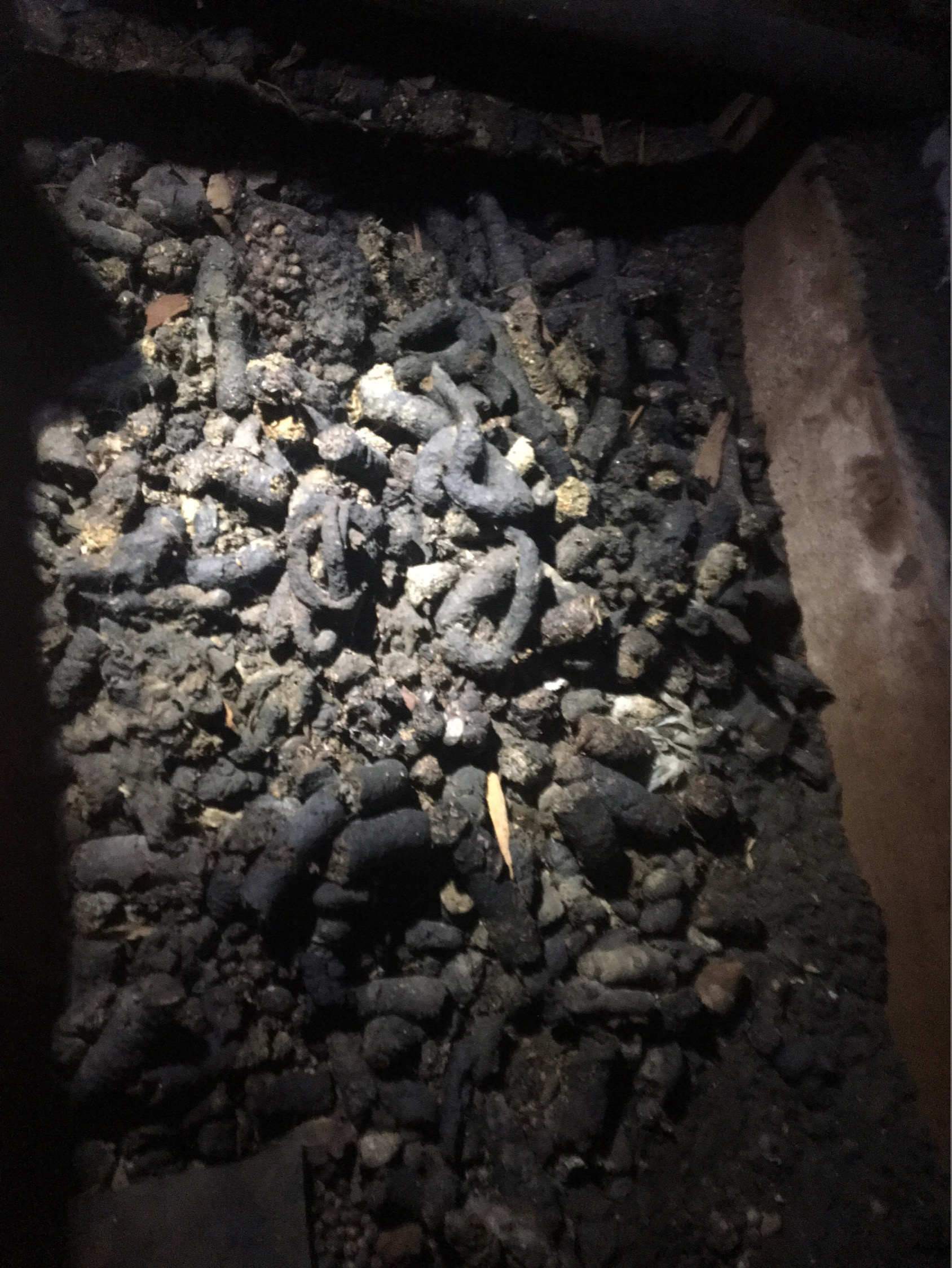 image of Raccoon Scat in Attic