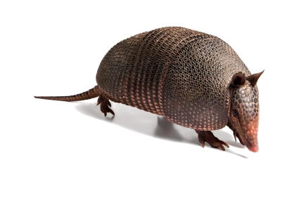 image of an armadillo