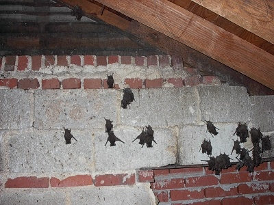 Bats In The Attic Safety Concerns Amp Removal From Home