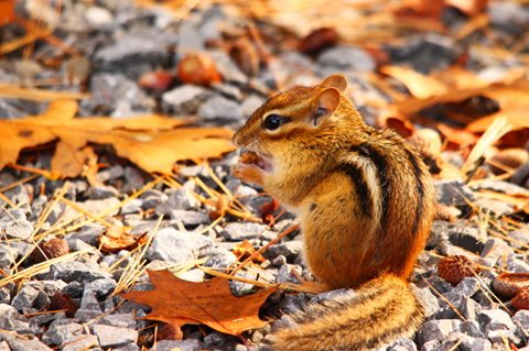 image of Chipmunk Foraging For Food