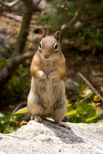 image of Chipmunk in Yard