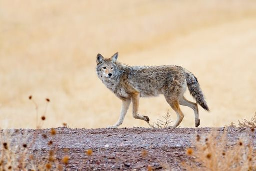image of Coyote Pictures
