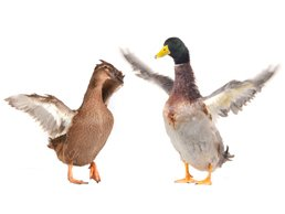 image of ducks