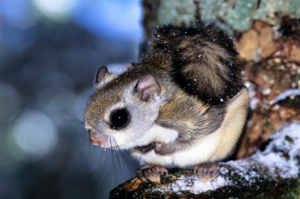 Flying Squirrel in Tree