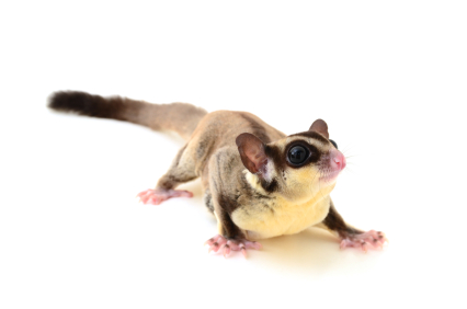 image of flying squirrel