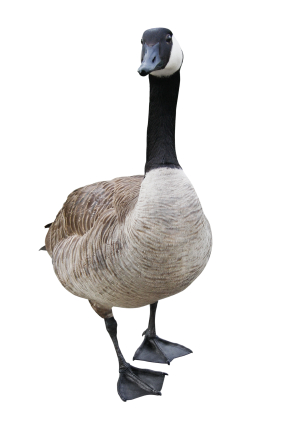 image of goose