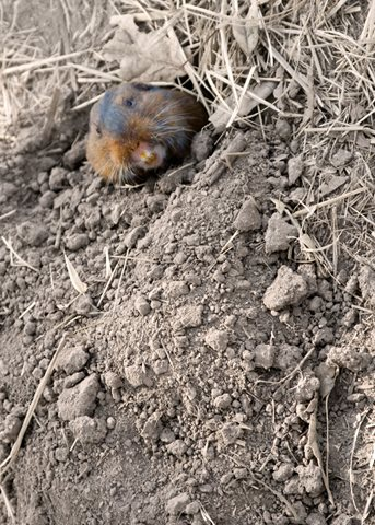 gopher in a burrow