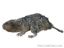 picture of a pocket gopher