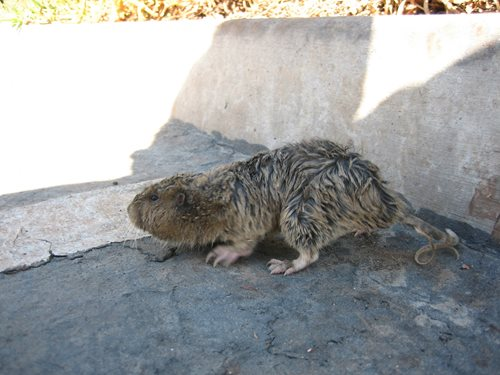 image of Pocket Gopher in Driveway
