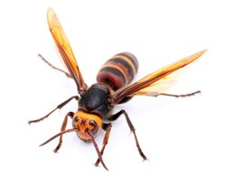 Hornet Identification Guide What Does A Hornet Look Like