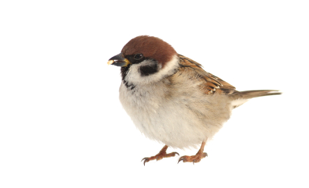 image of brown finch