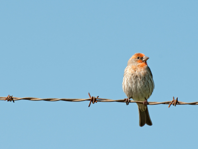 house finch on fence
