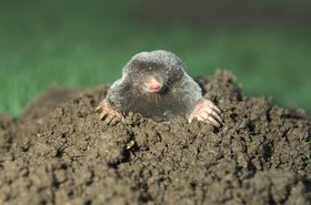mole in a yard