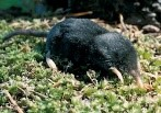 image of shrew mole