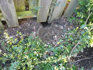 Mountain Beaver Damage Under Fence