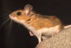 Picture of a deer mouse for identification