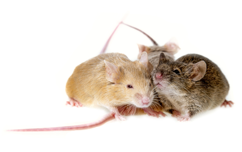 image of Group of Mice