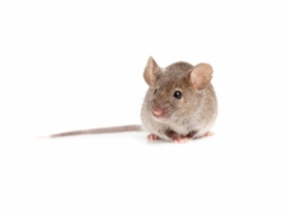 Image of a House Mouse