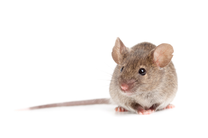 image of House Mouse for Identification Purposes
