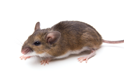 image of White Footed Mouse for Identification Purposes