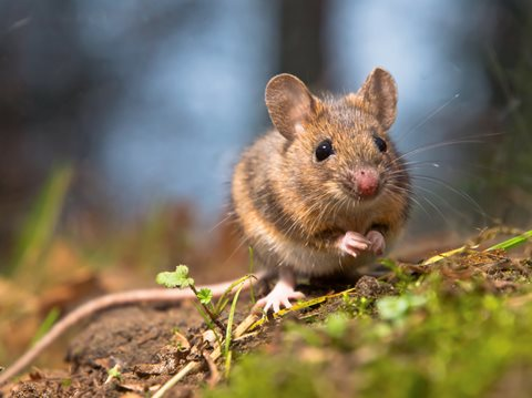 image of Wood Mouse in Yard