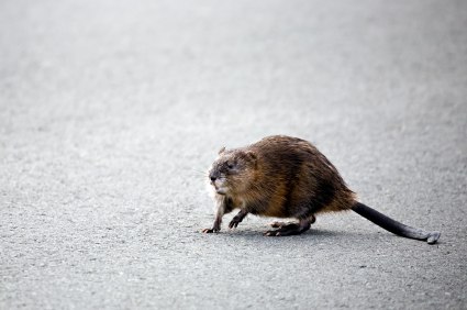 muskrat crossing the road