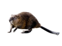 Nutria Vs Muskrat What S The Difference Between Them