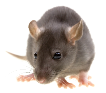 image of norway rat