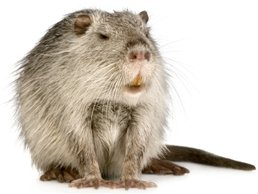 Image of Nutria