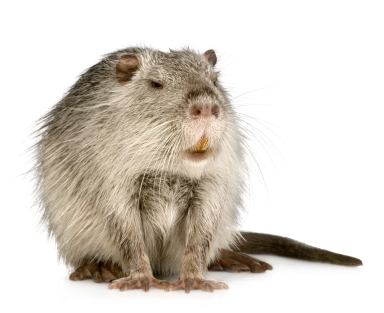 picture of a nutria