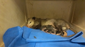 image of Opossum with Babies