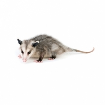 image of Opossum for Identification Purposes