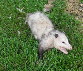 What It Means to See an Opossum Out Durring the Day