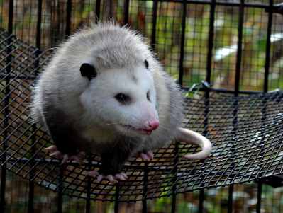 What Does An Opossum Look Like Appearance Amp Identification