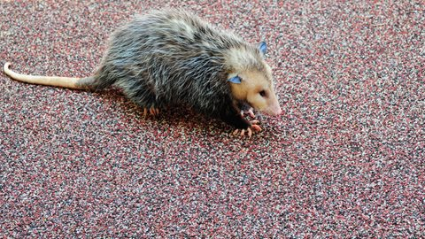 image of Opossum on Turf