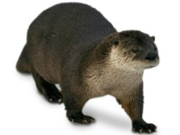 Image of Otter