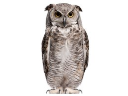 Image of Owl