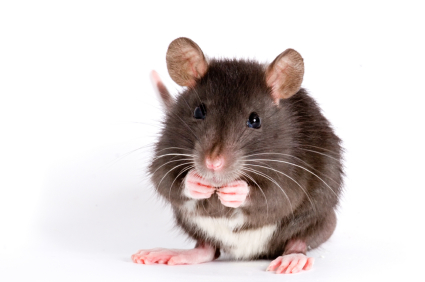image of a pack rat