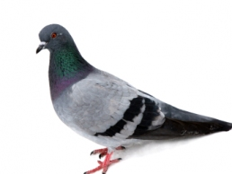pigeon picture