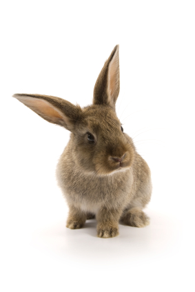 image of a rabbit