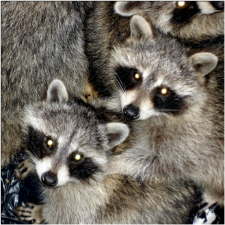 closeup of baby raccoons