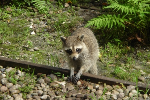 image of Raccoon on Tracks