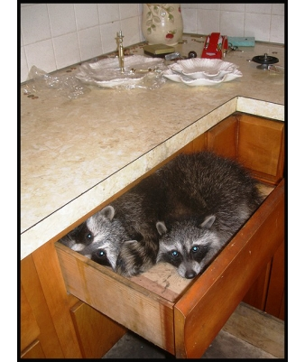 raccoon in a kitchen