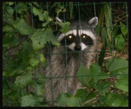 A raccoon trapped behind a fence.