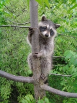 image of Raccoon in Trees