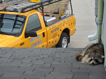 raccoon trapped on roof