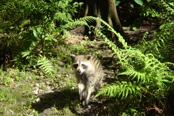 A raccoon in the wild foraging for food and garbage