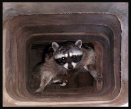 image of Racoon In Chimney