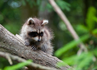 image of Baby Raccoon in Tree